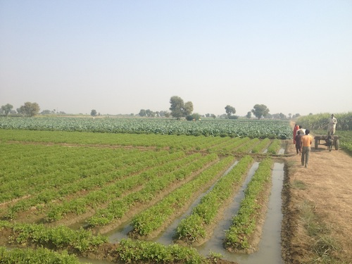 The fields of Saliqabad (Saliqabad, Pakistan)